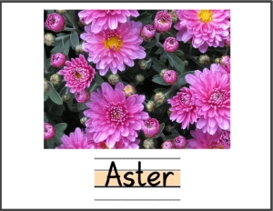 07 Aster